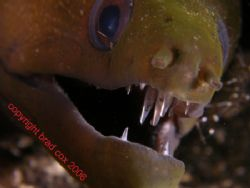 Oh My what big teeth you have Morey Bali Olympus 7070 by Brad Cox 